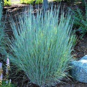 The Blues Little Bluestem Grass Overview