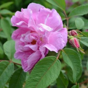 Therese Bugnet Rose Shrub blooms and buds