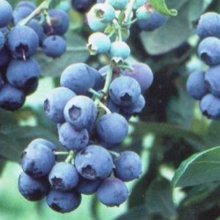 Tifblue Blueberry, blueberries