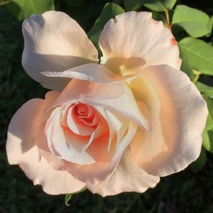 TIffany Rose Overview