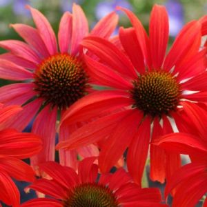 Tomato Soup Coneflower overview