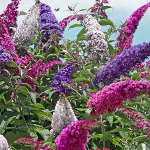 Perfecta Trifecta Butterfly Bush