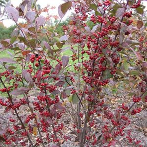 Upright Red Chokeberry Overview