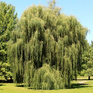 Weeping Willow full