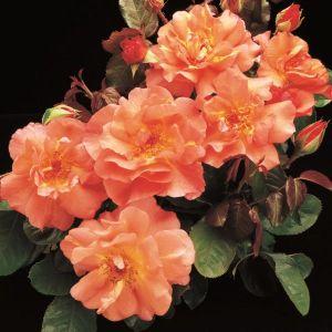Westerland™ Rose Overview