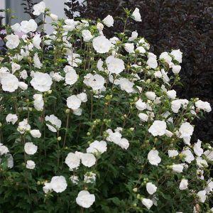 White Chiffon Rose of Sharon landscape