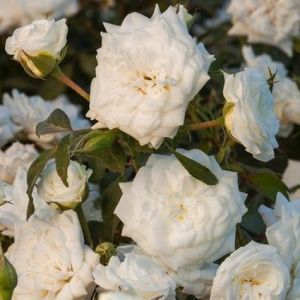 White Drift® Rose blooms and foliage