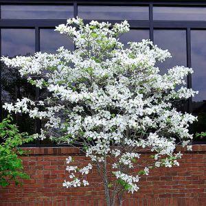 White Dogwood Tree Full