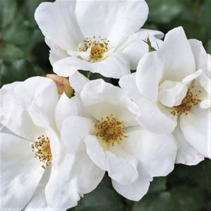 White Knock Out® Rose
