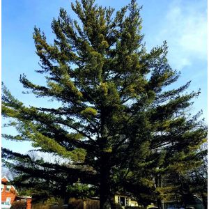 Eastern White Pine Tree Overview