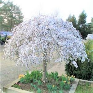 White Snow Fountain Weeping Cherry Small