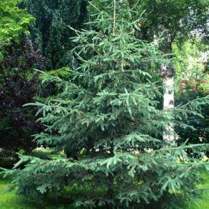 White Spruce Tree full