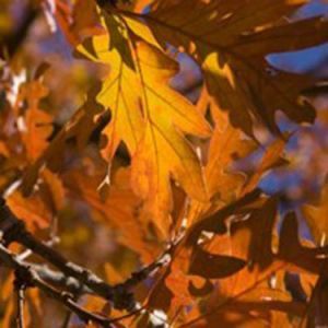 White Oak Fall Foliage