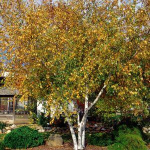 Whitespire Birch Overview