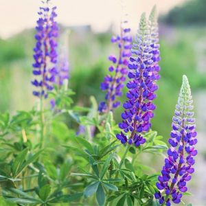 Wild Lupine Overview