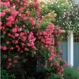 William Baffin Climbing Rose Overview