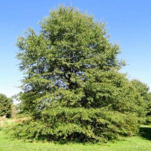 Willow Oak Tree Overview