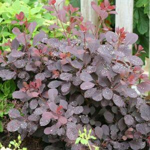 Winecraft Black® Smokebush Leaves