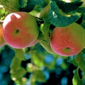 Wolf River Apple Tree Overview