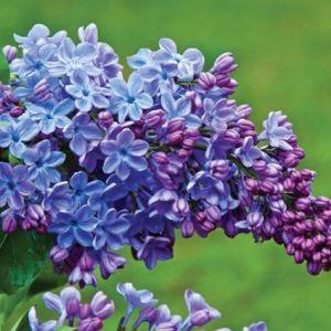 Wonderblue Lilac bloom close up
