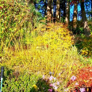 Yellow Twig Dogwood Overview
