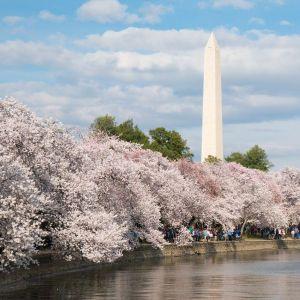 Yoshino Flowering Cherry Overview