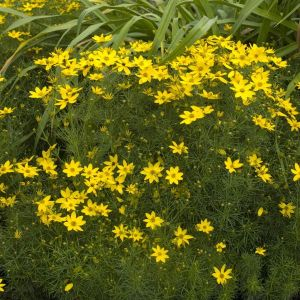 Zagreb Coreopsis Overview