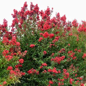 First Editions® Ruffled Red Magic™ Crape Myrtle