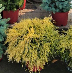 Golden Mop False Cypress