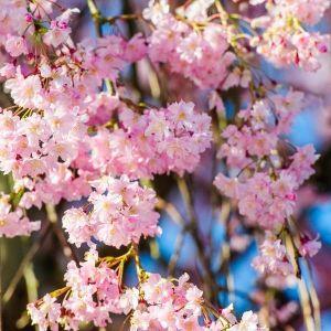Pink Cascade® Weeping Cherry