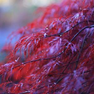 Crimson Princess Laceleaf Japanese Maple