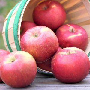 Snowsweet® Apple Tree