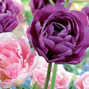 Double Delight Tulip Mix