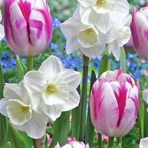 Alaskan Aurora Tulip/Daffodil Mix