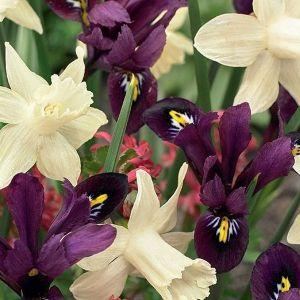 Pole Position Tulip/Iris Mix