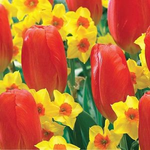 Happy Sunset Tulip/Daffodil Mix