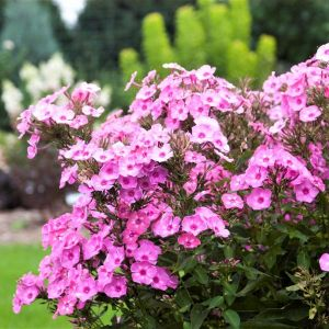 First Editions® Cotton Candy™ Phlox