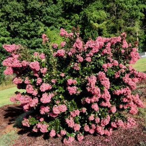 First Editions® Coral Magic Crapemyrtle