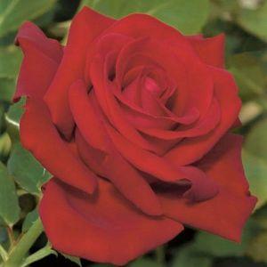 Drop Dead Red™ Rose