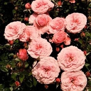 Sexy Rexy™ Rose
