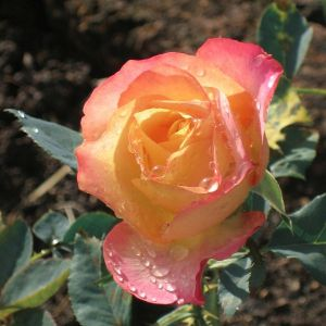 About Face Rose
