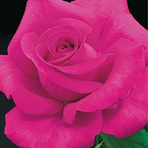 All My Loving Rose