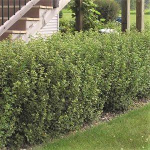 Alpine Currant Bush
