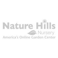 Amaryllis in White Snowflake Pot