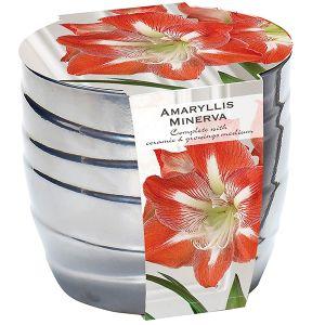 Amaryllis in Silver Ceramic Pot