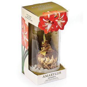 Amaryllis in a Glass Vase