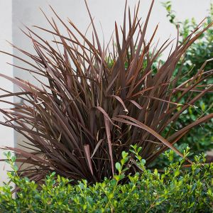 Amazing Red New Zealand Flax