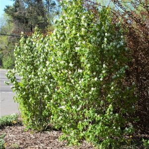 First Editions® Standing Ovation™ Serviceberry