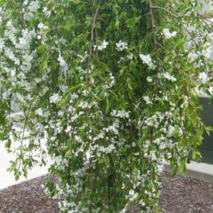 April Showers™ Weeping Crabapple Tree