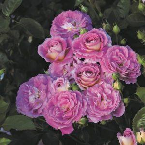 Arctic Blue™ Rose